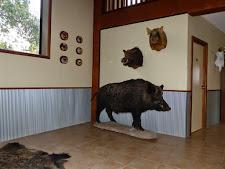 Wild boar trophies!