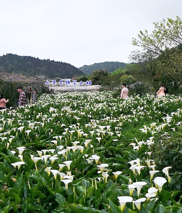 15 苗榜海芋園
