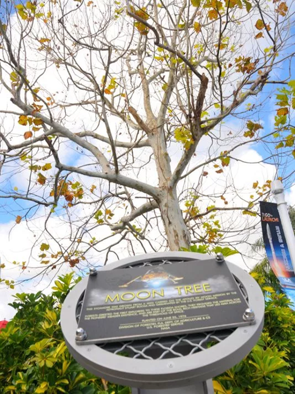 The 'Moon Tree', a sycamore planted at Kennedy Space Center Visitor Complex in 1976, sprouted from a seed that flew on Apollo 14. The tree was toppled by Hurricane Irma in September 2017, forcing crews to remove it from the complex. Photo: Florida Today