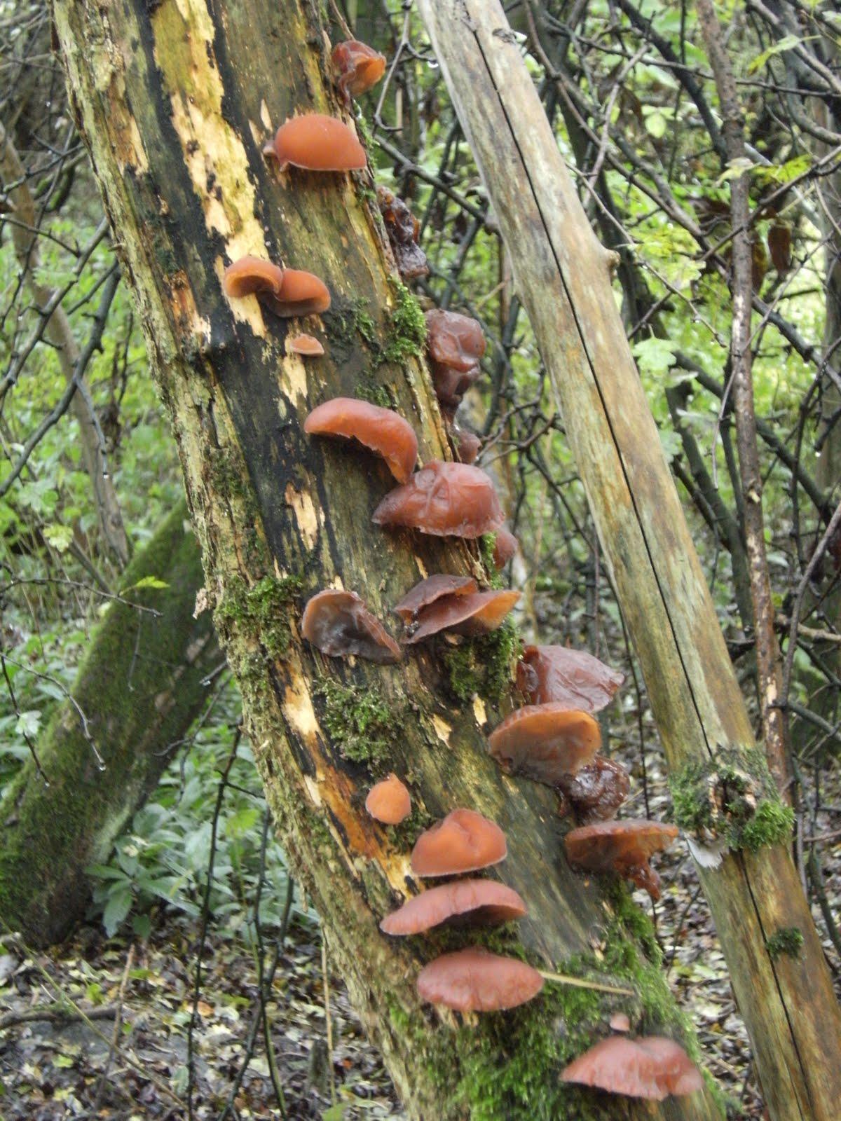 1010300015 Ear fungus