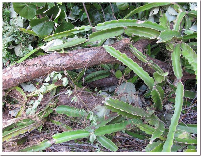 10-08-dead-pine-cactus