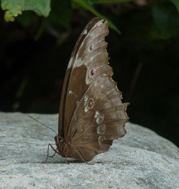 Morpho (Grasseia) menelaus lecromi Blandin, 2007, femelle. Cascade entre Cachipay et San Rafael, à l'est de Santa María en Boyacá, 890 m (Boyacá, Colombie), 18 novembre 2015. Photo : C. Basset