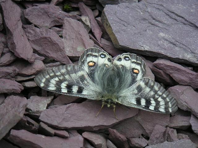 Parnassius (Koramius) delphius albulus HONRATH, 1889. Dolon Pass (3350 m), Kyrgyzistan, 15 juillet 2006. Photo : François Michel.