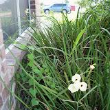 Gardening 2010, Part Two - 101_3521.JPG
