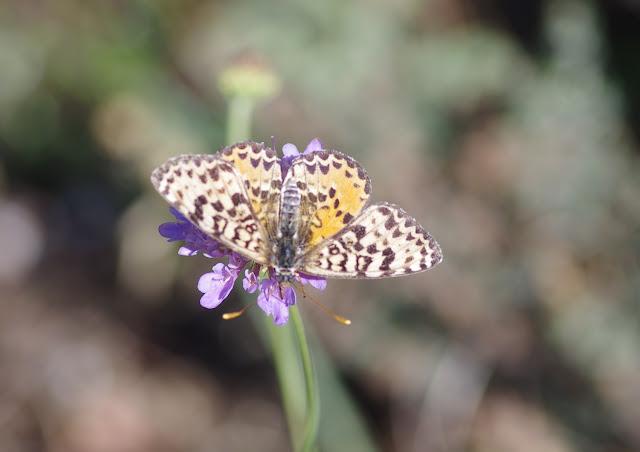 Melitaea didyma meridionalis STAUDINGER, 1870, femelle. Les Hautes-Courennes, Saint-Martin-de-Castillon (Vaucluse), 16 juin 2015. Photo : J.-M. Gayman