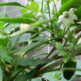 Gardening 2013 - 115_6041.JPG