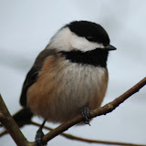 BirdsBritishColumbia
