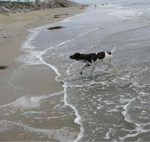 Mac at the Doggie beach in Huntington Beach, CA