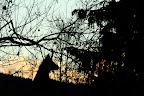 SILHOUETTE   De chamois au crépuscule