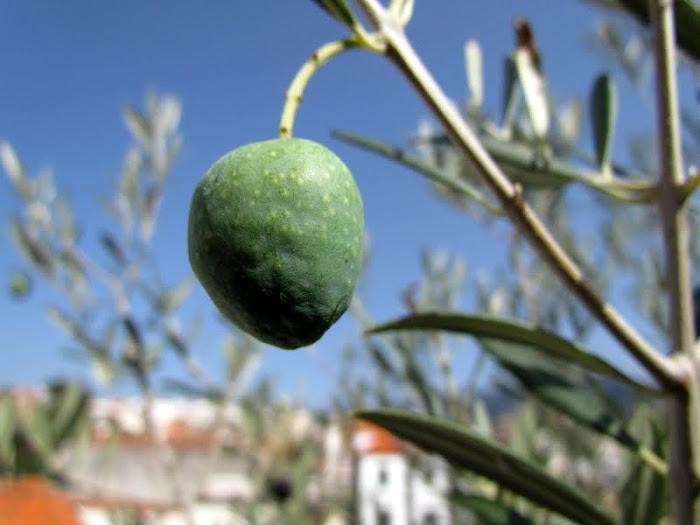 an olive in my garden