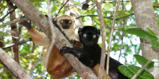 Blue-eyed black lemurs in Madagascar. The critically endangered blue-eyed black lemur is one of the few primate species other than humans that has blue eyes. Photo: M. Seiler