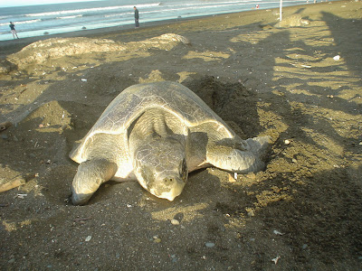 Schildkröte am Pazifikstrand