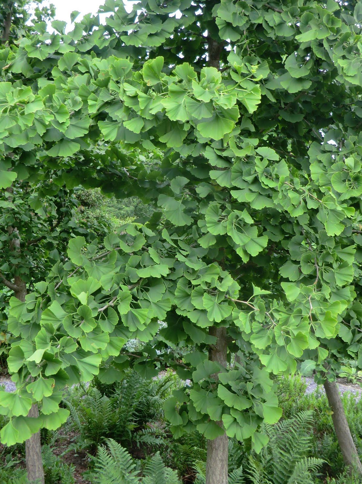 CIMG8659 Ginkgo biloba, Broadview Gardens