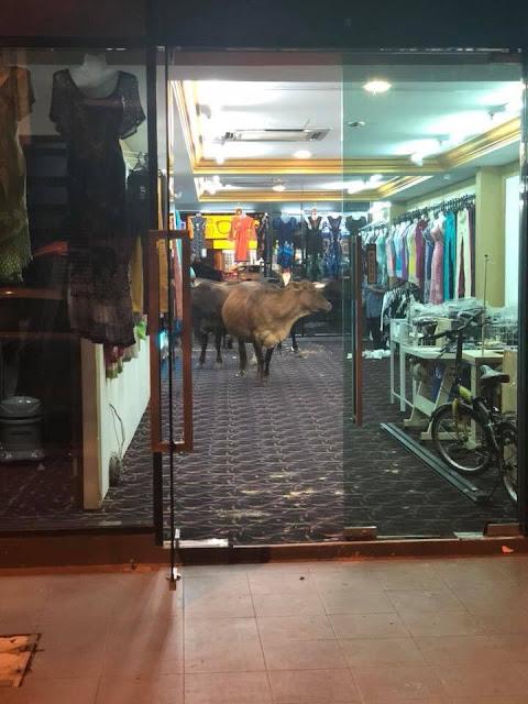 Lembu masuk kedai