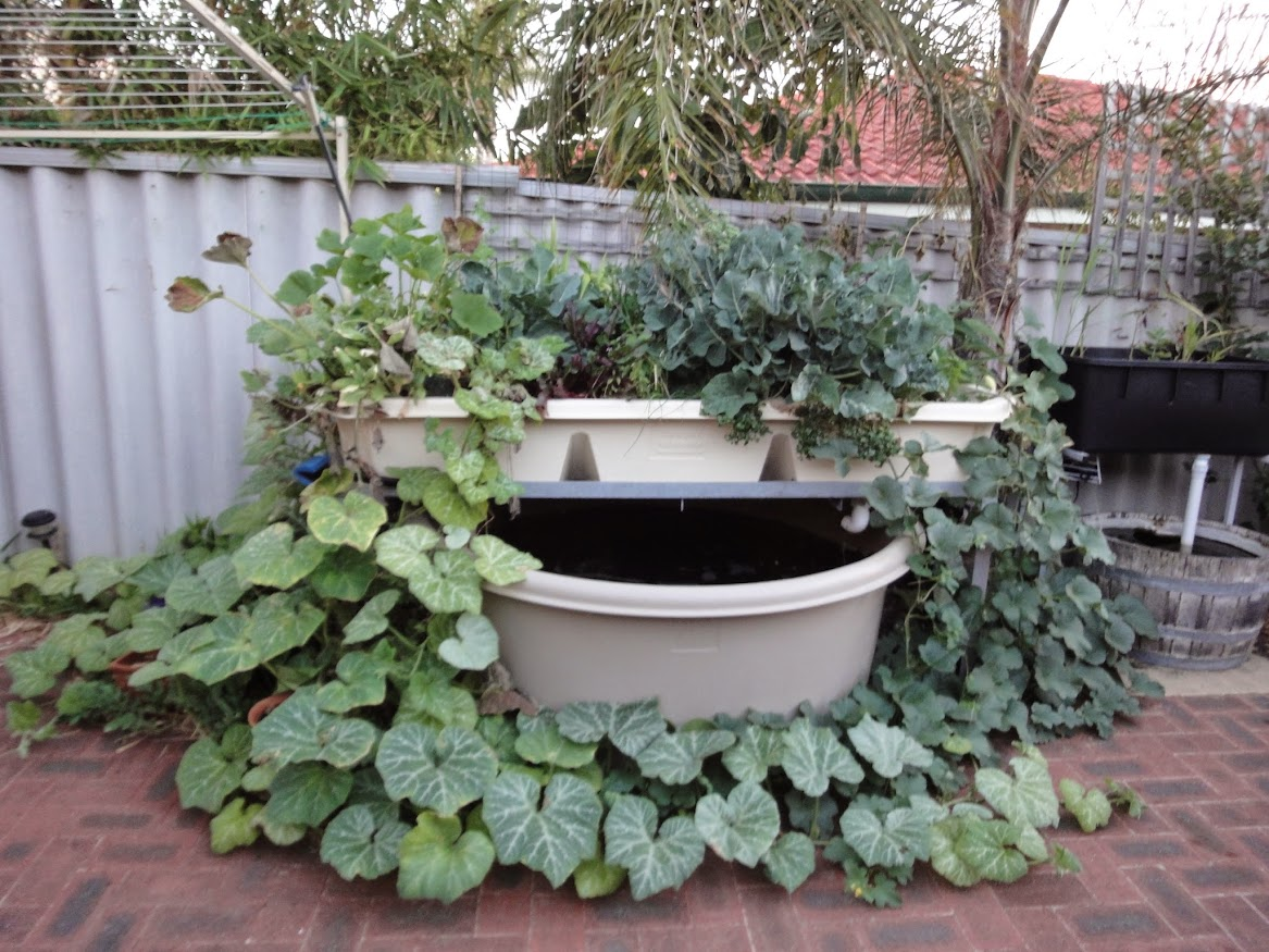 backyard aquaponics u2022 view topic perth australia ba courtyard