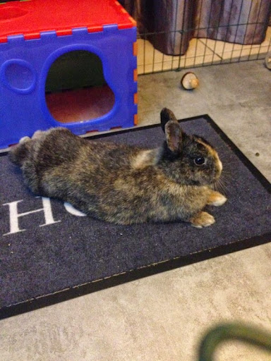 [Adoptée]-Emy-lapine tricolore Emy6-06b13