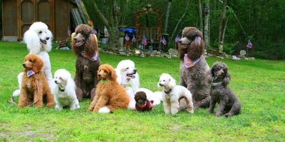 Kích thước của chó poodle