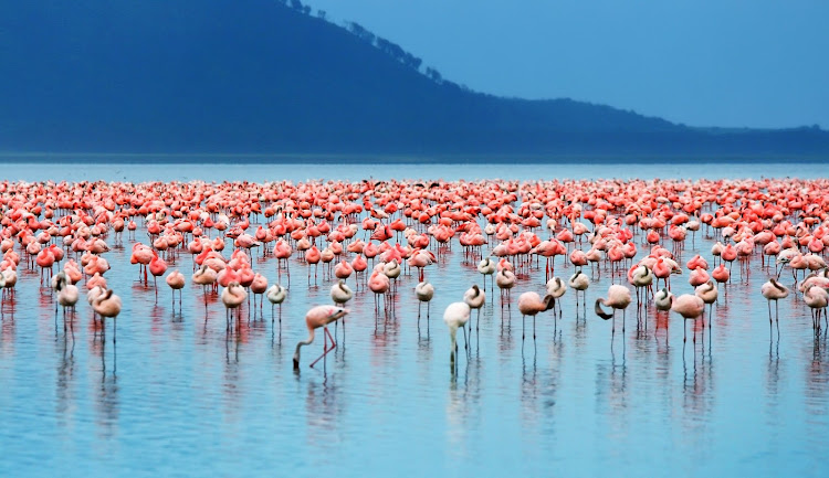 Eye candy: a flock of flamingos on Lake Nakuru in Kenya.