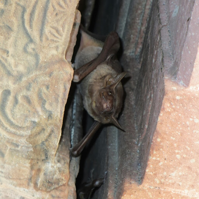 Bat, Agra Fort, Agra