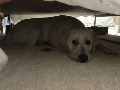 A Labrador Retriever under a bed