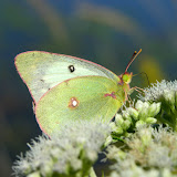 Clouded Sulphur butterfly