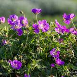 Герань (Geranium sp.)