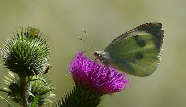 Pieris brassicae LINNAEUS, 1758, femelle. Les Hautes-Lisières, 13 juillet 2009. Photo : J.-M. Gayman