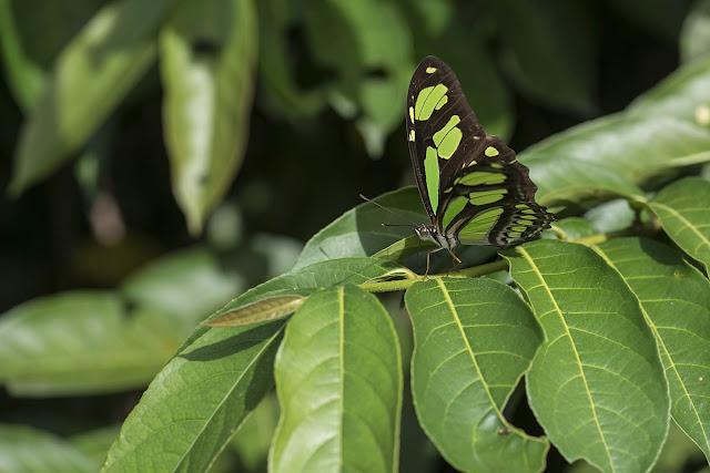 Philaethria pygmalion metaensis Constantino & Salazar, 2010. Finca La Graciela, 239 m (Tamarindo, Casanare, Colombie), 5 novembre 2015. Photo : B. Lalanne-Cassou