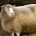 Primeiro mamífero clonado, Dolly completaria hoje 25 anos