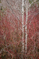 P_G_M_KroppR_Alders and Red Twigs.jpg
