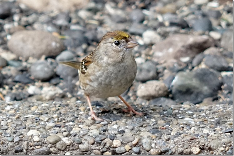 lopez golden crowned sparrow 030818 00000