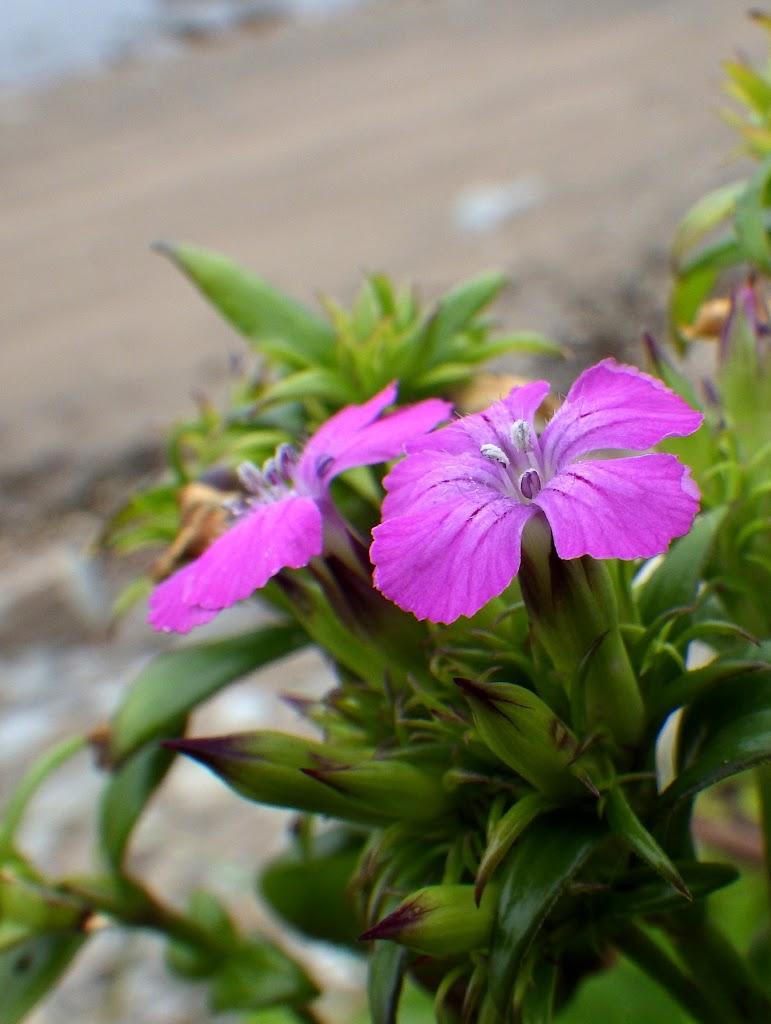 岸壁に咲くハマナデシコ