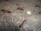 Riesen Rote Ameisen