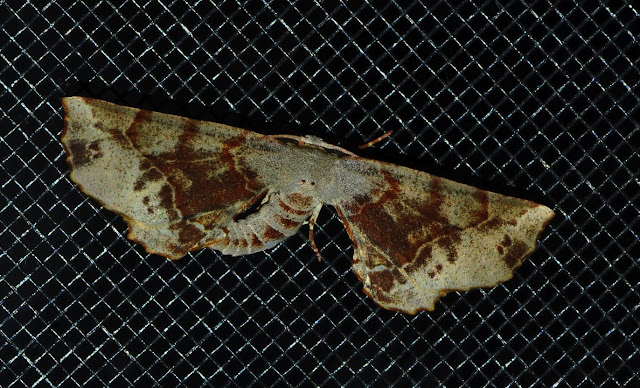 Geometridae : Oenochrominae : Parepisparis lutosaria R. FELDER & ROGENHOFER, 1875, ou bien Circopetes obtusata WALKER, 1860 ? Umina Beach (N. S. W., Australie), 27 décembre 2011. Photo : Barbara Kedzierski