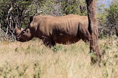first Rhino