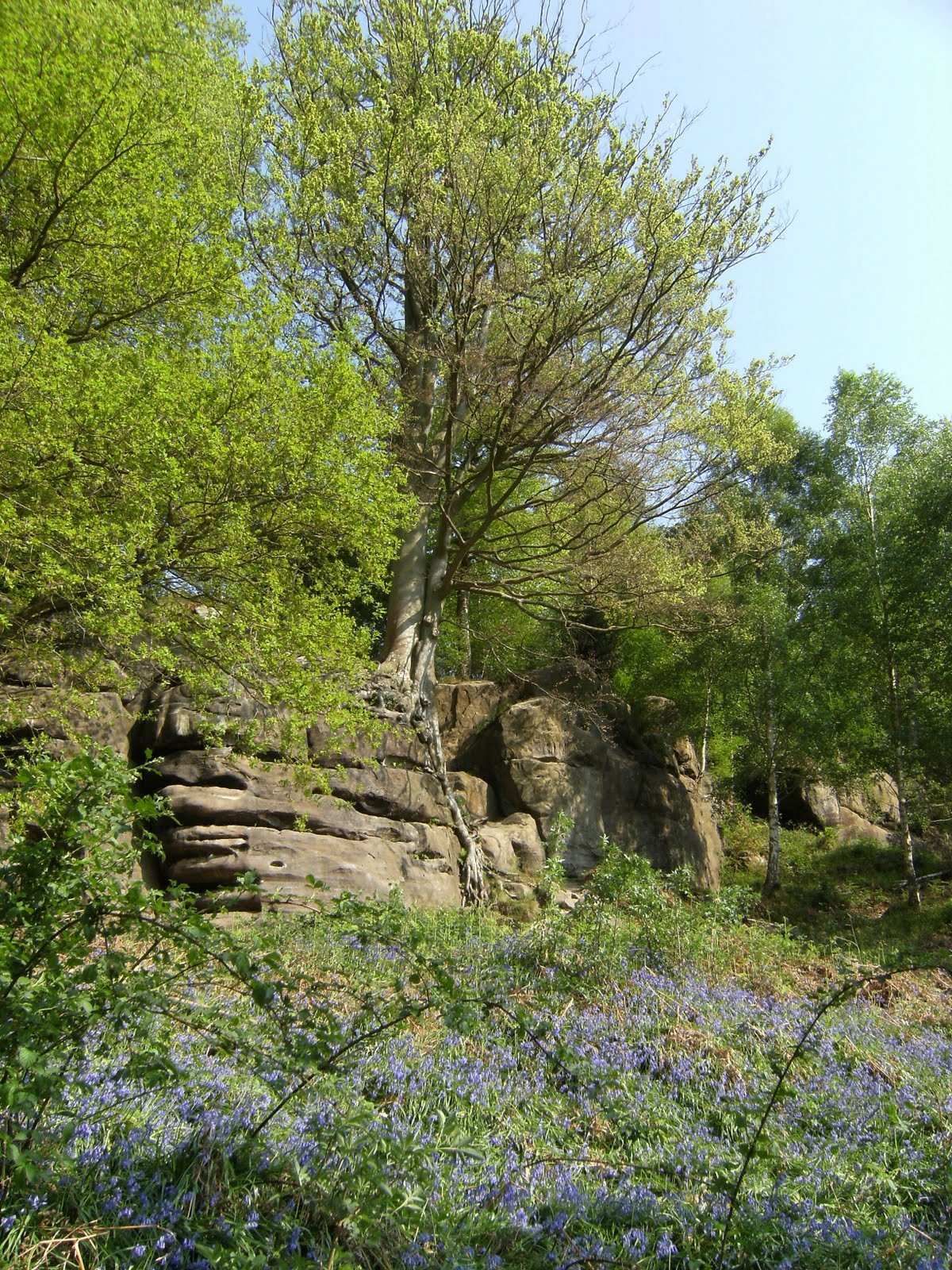 DSCF7489 Bluebells at Harrison's Rocks