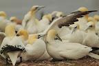 BONJOUR CHÉRI ! Dès son retour au nid, le mâle fou de bassan attaque sa femelle. Elle lui indique qu'elle est copropriétaire en lui tendant le cou !