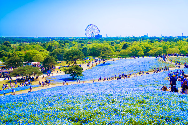 Hitachi Seaside Park Nemophila (baby blue eyes flowers) photo6