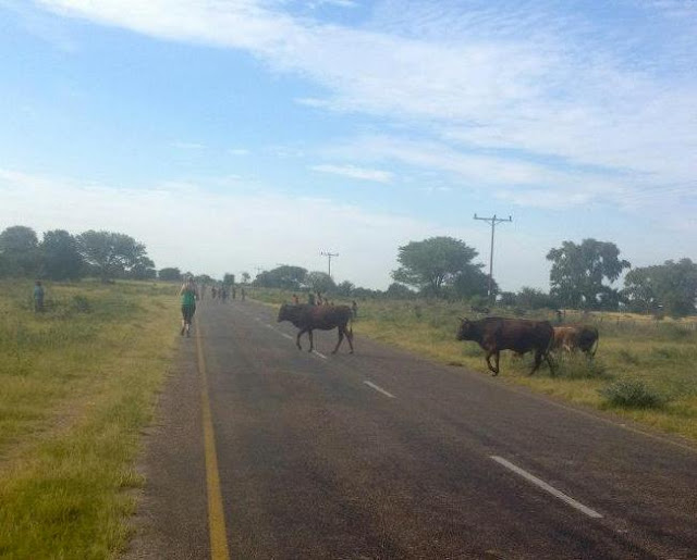 Sharing the race course with cows