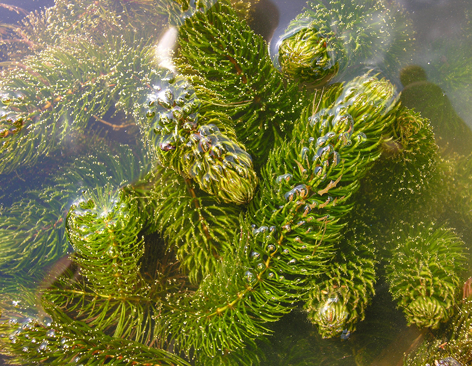 Роголистник темно-зеленый (Роголистник погруженный) (Ceratophyllum demersum)