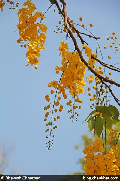 Chaturangula AKA Amaltas, Cassia fistula, Golden Shower Tree, Garmalo, Bandar Lathi, Bahava, Sunari, Aragvadha, Kritamala, Suvarnaka