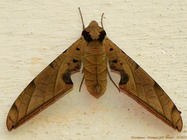 Sphingidae : Sphinginae : Protambulyx strigilis (LINNAEUS, 1771), mâle. Pitangui (MG, Brésil), 5 mai 2011. Photo : Nicodemos Rosa