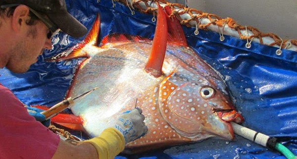 Image of the Opah fish is a warm-blooded animal