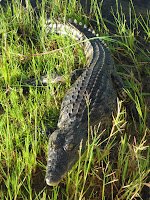 Croc - Okavango Delta