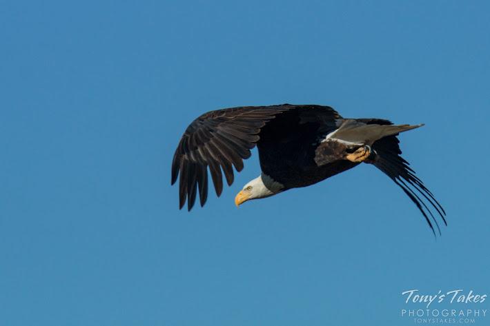 Bald Eagle male takes flight. 5 of 6. (© Tony's Takes)