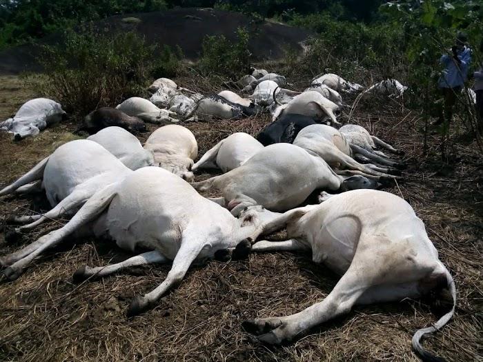 BREAKING: Thunder strikes dead 36 cows in Ondo community's  (Photos)