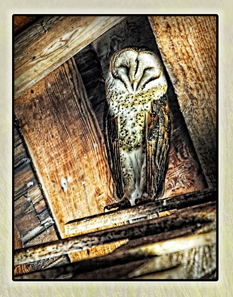"""Barn Owl's Naptime"" by Ardythe Wendt - 2nd ""A"" General"