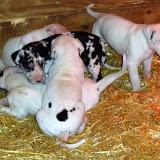 Graysee's puppies @ 4 weeks