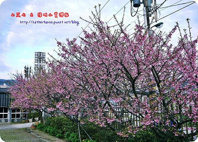 61 平菁街42巷櫻花樹