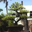 47 v popredí borovica vzadu dva úžasné araukarity prekemenené kmene stromov, 1,5 m vysoké.JPG
